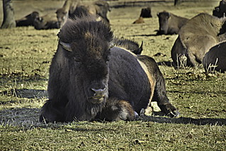 Bison 2 | by alnbbates