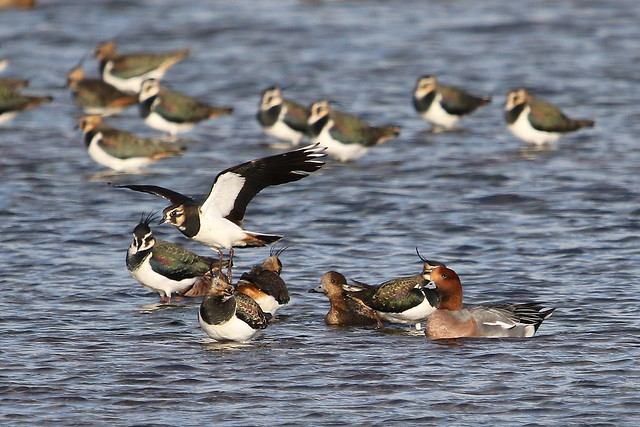 Lapwings-7D2_0510-001, Canon EOS 7D MARK II, Sigma 150-600mm f/5-6.3 DG OS HSM | C