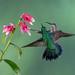 Hummingbird Tango by dbifulco