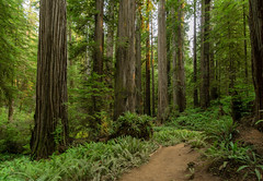 Dreaming of summer vacations in the redwoods.