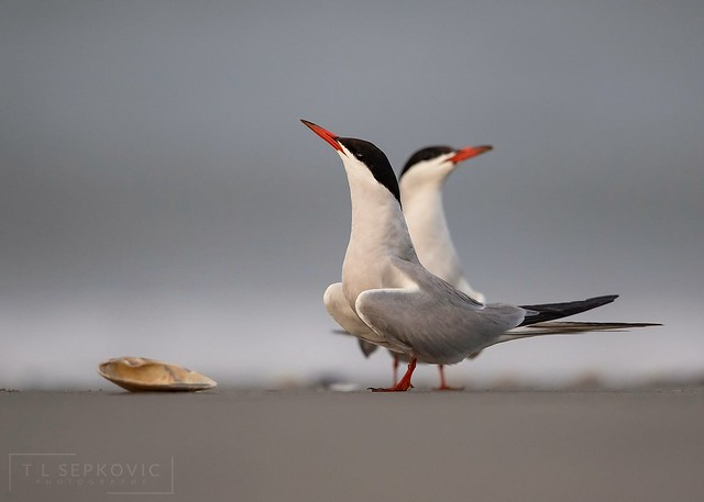 Common Terns, Canon EOS 5D MARK IV, Canon EF 500mm f/4L IS II USM
