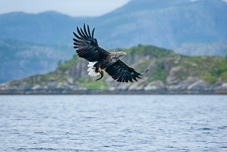 White Tailed Sea Eagle Norway | by BeckH1