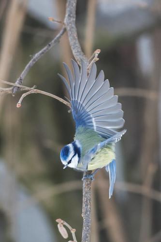 Blaumeise - Blue tit - Cyanistes caeruleus - 6