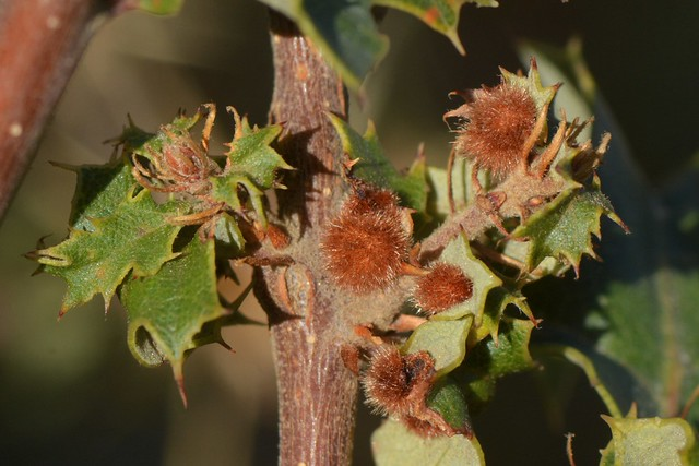 Galls of the Woollybear Gall Wasp on Scrub Oak