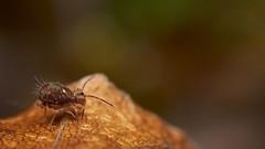 springtail: Dicyrtomina saundersi