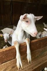 les curieuses chèvres de Muriel