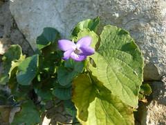 Première ou denière violette?