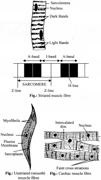 NCERT Solutions for Class 9 Science Chapter 6 Tissues 1