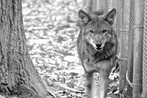 binghamton newyork rosspark binghamtonzoo wolf redwolf canisrufus criticallyendangered areyoulookinatme blackwhite