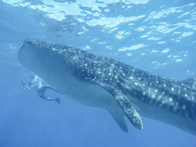 Whale Shark is very big!