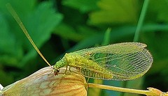 Golden-eyed Lacewing