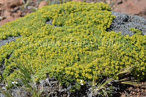 aDSC_0316 Azorella monantha  アゾレア モナンサ