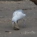 Herring Gull, Dinner 4