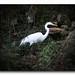 great egret by work4u