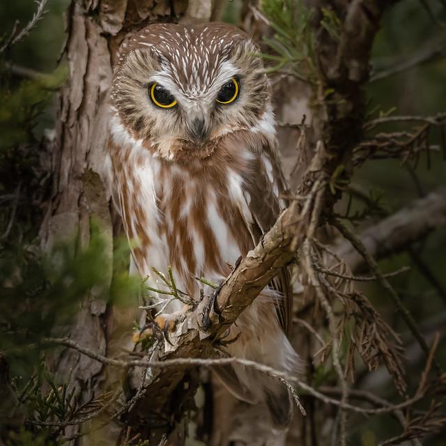 Saw-Whet Owl #1  (Lifer)