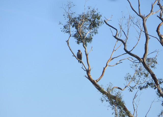 hawk rests
