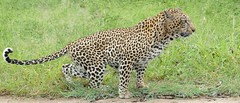 Leopard (Panthera pardus) male marking its territory ....