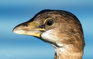 Pied-billed grebe (Stacking 3 TC)