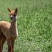 Cria (baby alpaca)