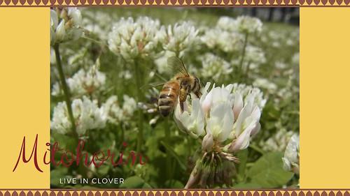 Clover1-s
