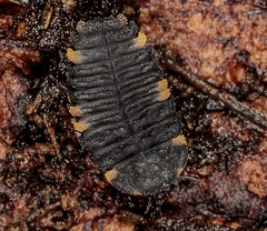 Endomychus coccineus larvae