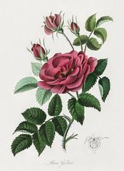 French rose (Rosa gallica) illustration from Medical Botany (1836) by John Stephenson and James Morss Churchill.