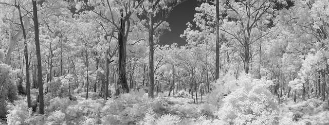 Bodalla forest