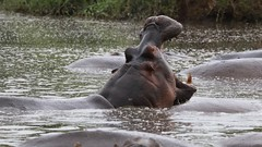 Bellowing hippo