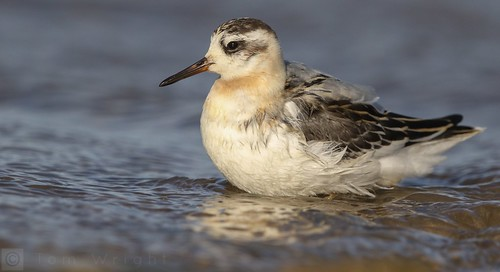 Grey Phalarope from back in the autumn