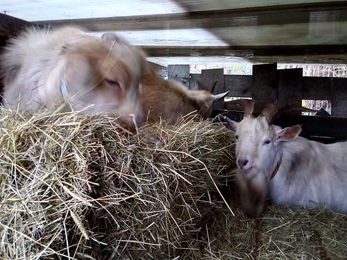 Goat hay store invasion Jan 19