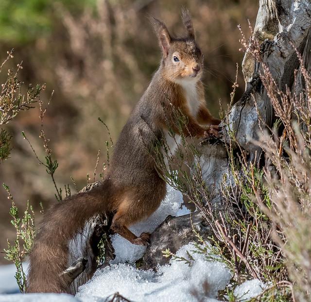 DSC3783  Red Squirrel..