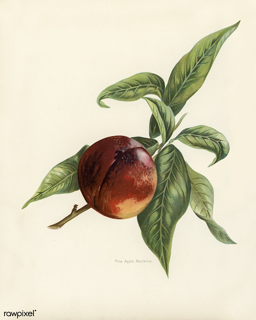 The fruit grower's guide : Vintage illustration of pine apple nectarines