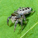 Jumping Spider (Salticidae) 118z-6164287