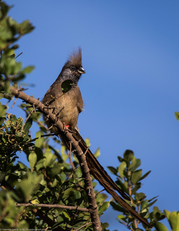 Lake_Naivasha_Kenya_sep18_10_Mousebird
