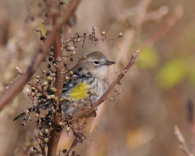Yellow-rumped Warbler in Poison Ivy