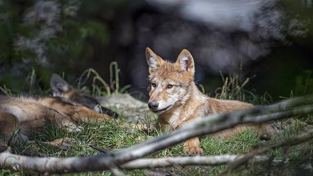 Two wolf pups, Nikon D5, AF-S VR Zoom-Nikkor 200-400mm f/4G IF-ED