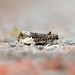Marbled Orchard Tortrix, Whitehaven, Cumbria, England