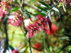 2008 12 28 Flower Grevillea edit