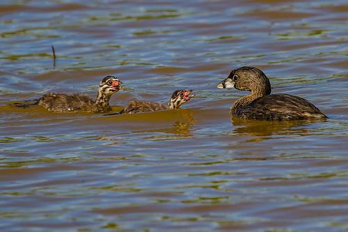 Pied-billed Grebe - Brazilian Birds - Species # 273