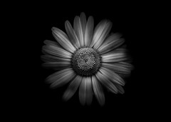 Backyard Flowers In Black And White 31