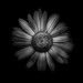 Backyard Flowers In Black And White 31 by thelearningcurvedotca