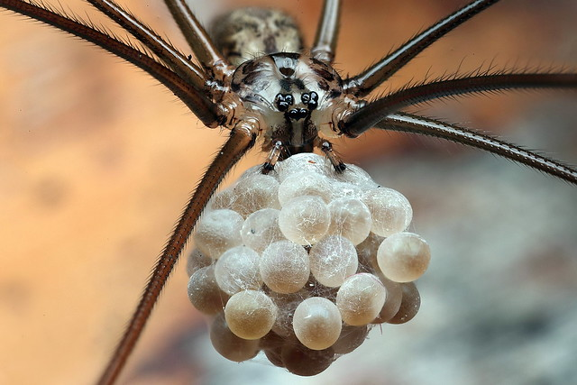 Daddy Long Legs spider - Pholcus phalangioides  Female with eggs
