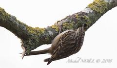 Grimpereau des jardins - Certhia brachydactyla - Short-toed Treecreeper : Michel NOËL © 2019-8674.jpg