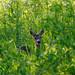 Roe deer by bmacdonald111