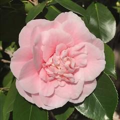 Camellias in bloom😁