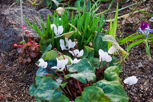 2019-01-29 - Nature Photography - Flowers - White Cyclamen