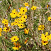 Tickseed (Coreopsis sp. either C. gladiata or C. floridana) by Mary Keim