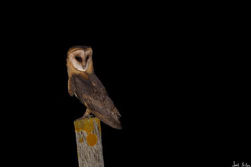 Coruja-das-torres - sub. esp. guttata, Dark-breasted Barn Owl (Tyto alba guttata)