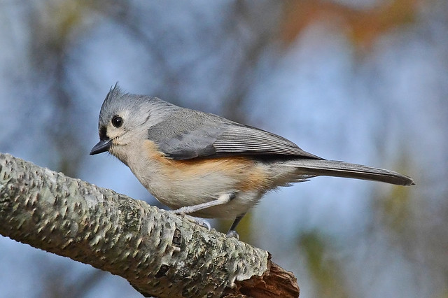 Tufted Titmouse, Nikon D800, AF-S Nikkor 300mm f/4D IF-ED