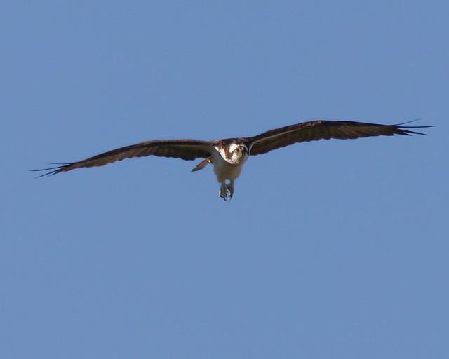 Osprey in Flight - 2